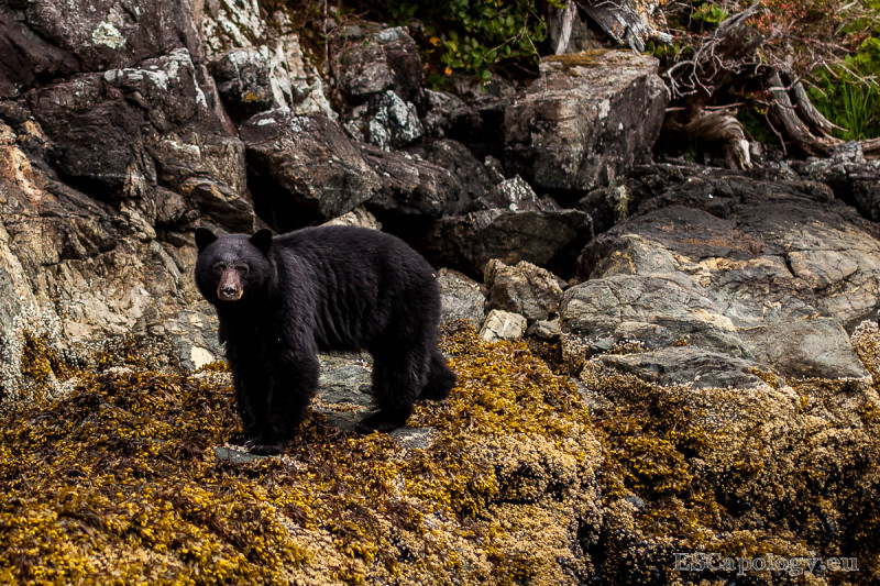Black Bears are easily found around Tofino and sometimes even visit town.